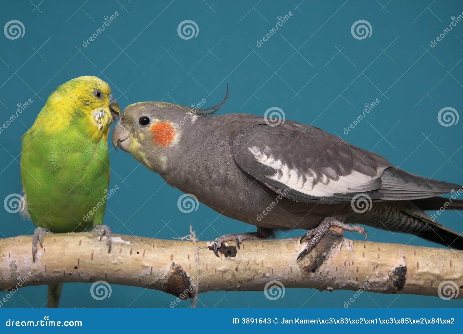 Parakeet et Cockatiel