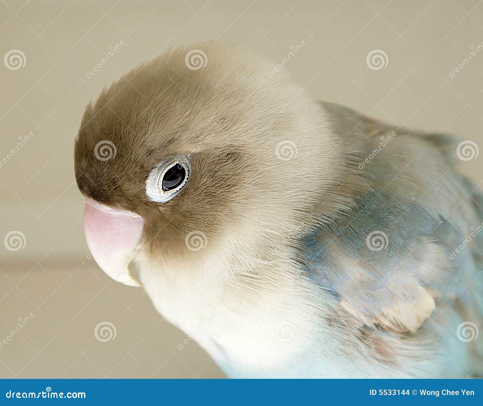 Parakeet ferido