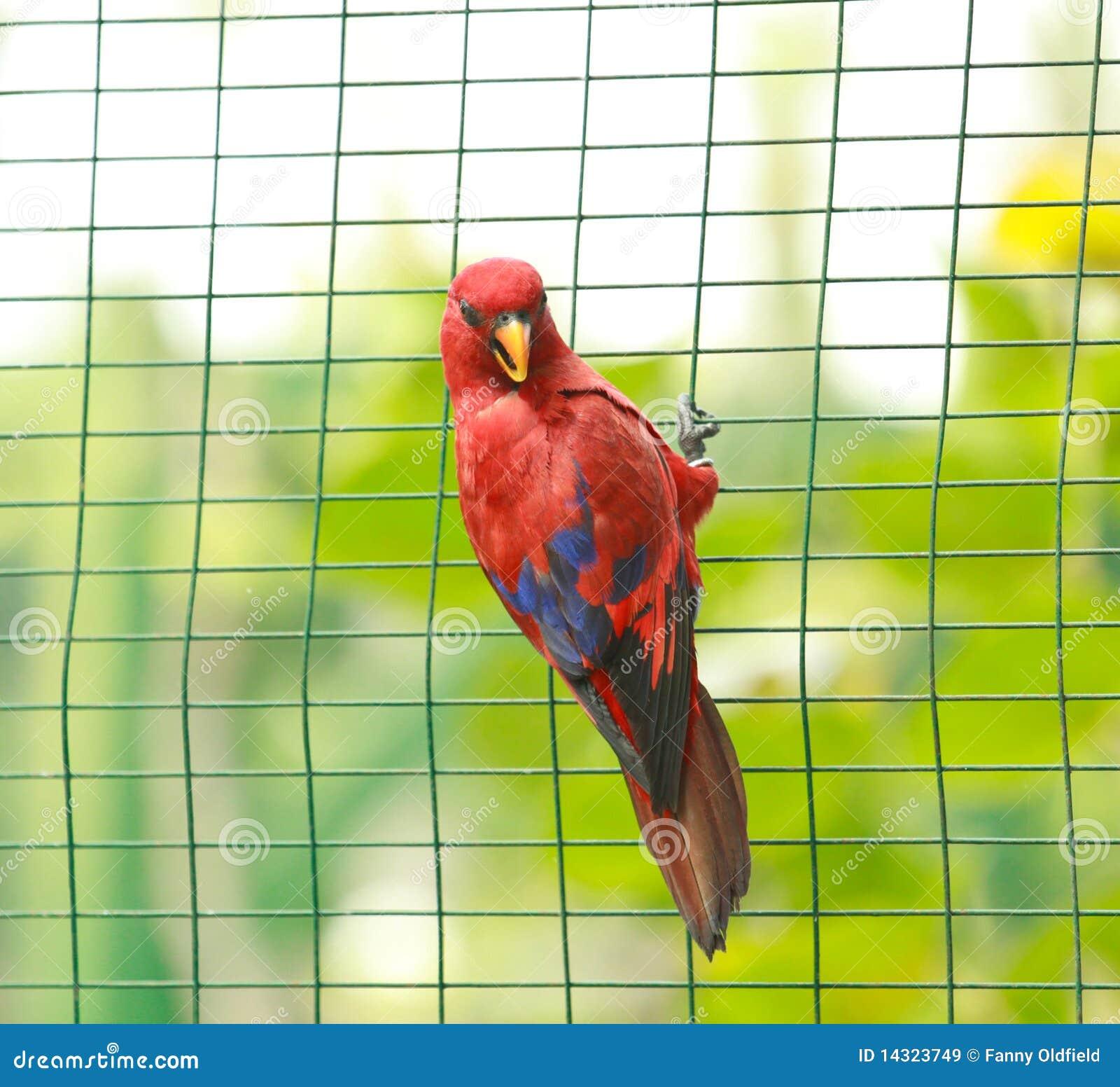 Parakeet prisionero