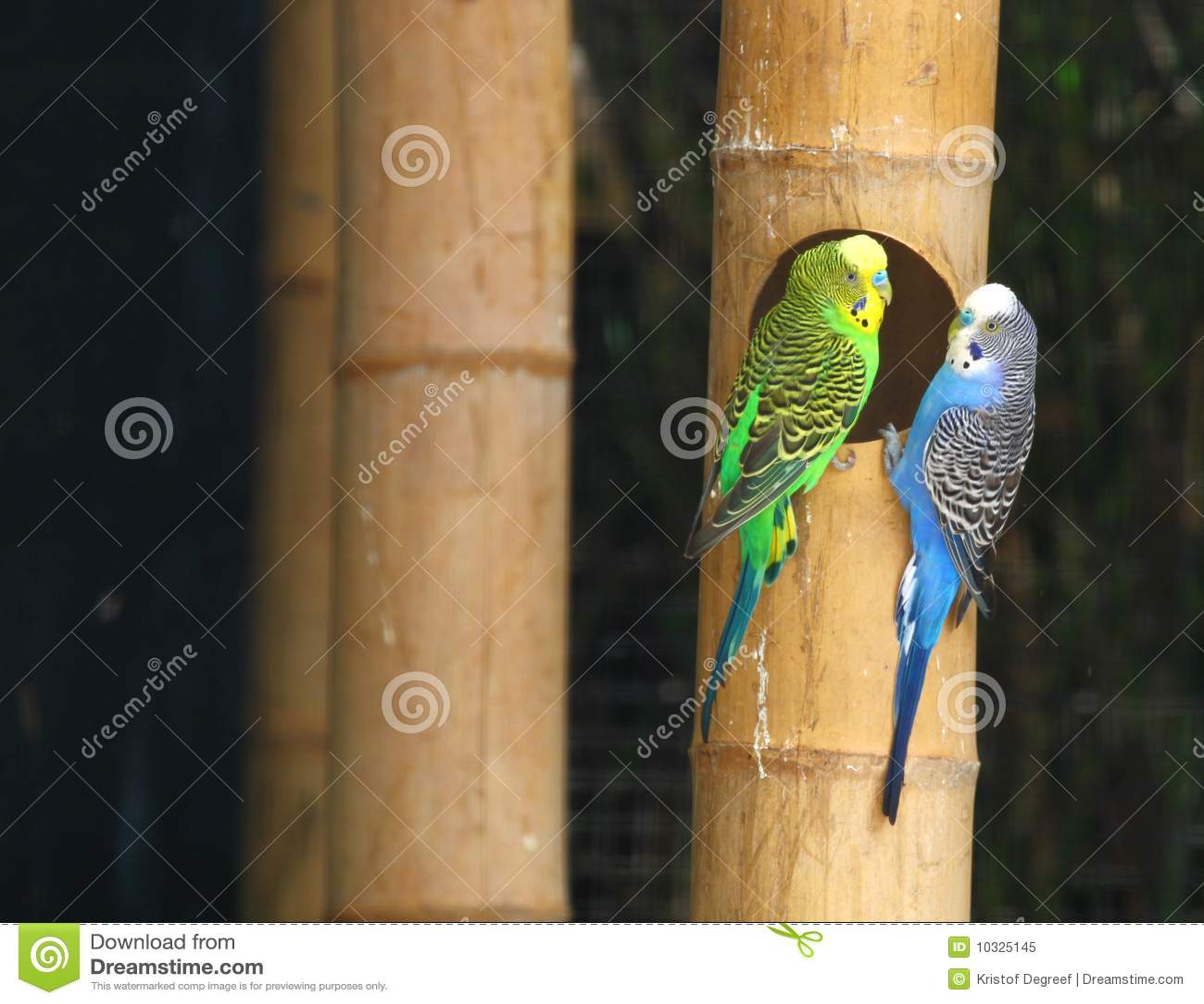 Parakeet (s)