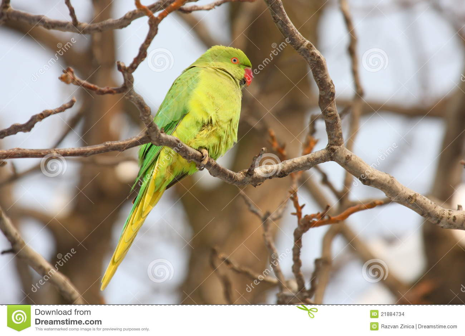 Parakeet upierścieniony wzrastał