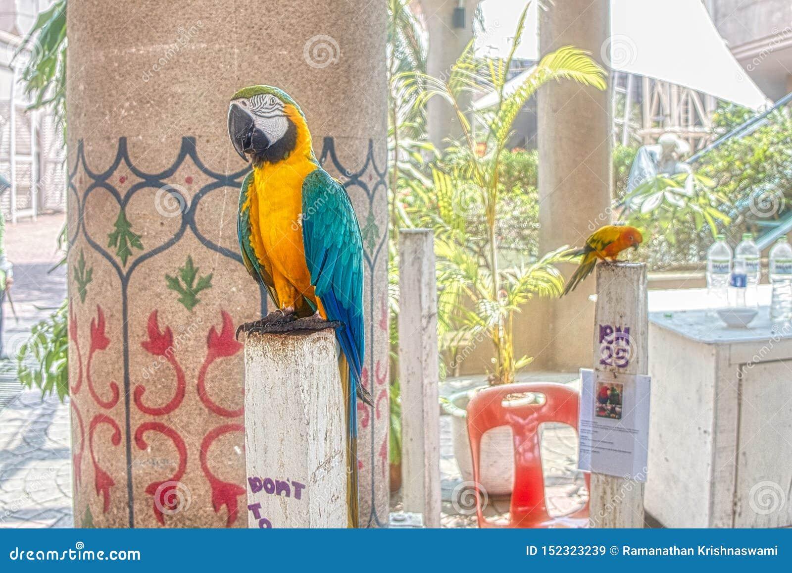 Parakeet zwierzę domowe w Malezja