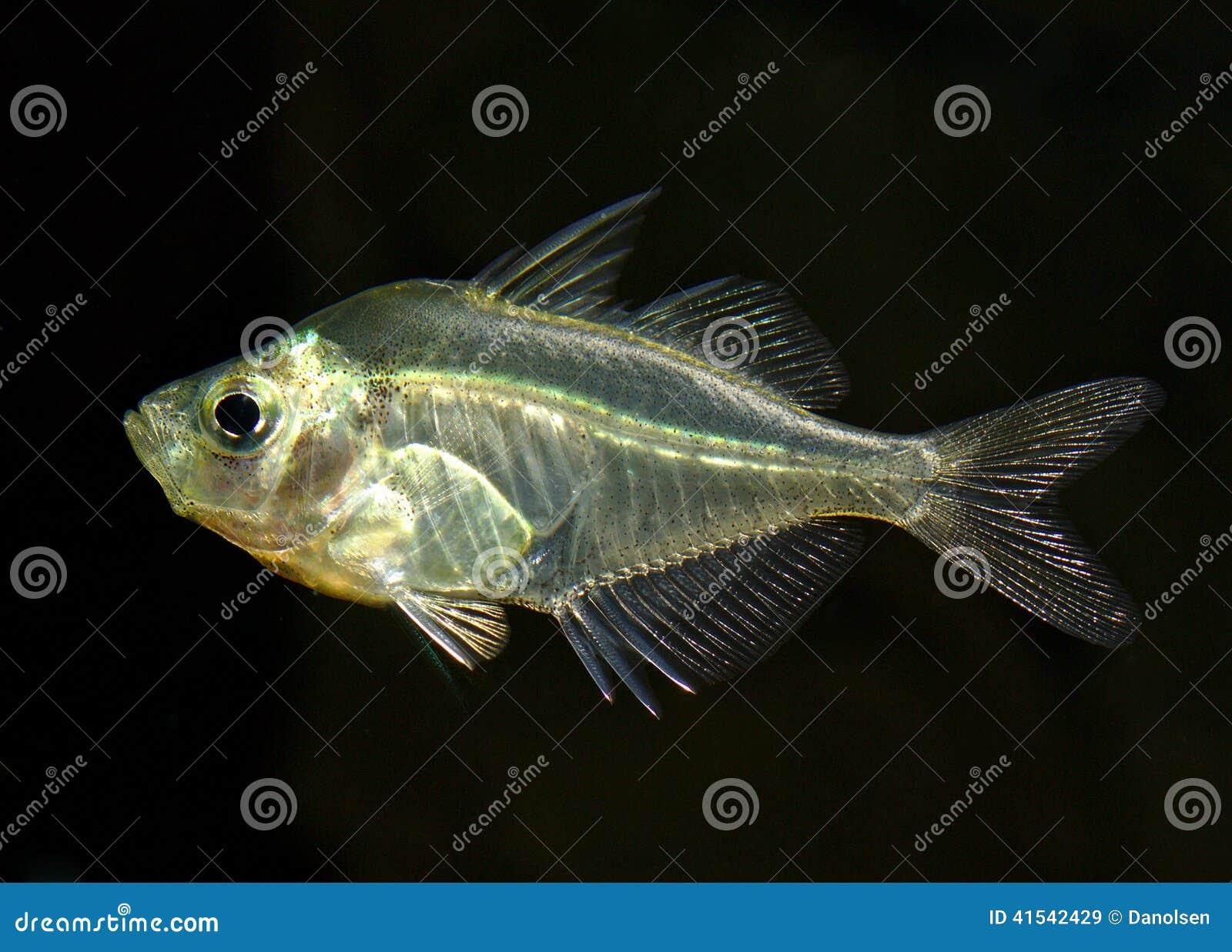 Freshwater fish hobby - Parambassis Ranga