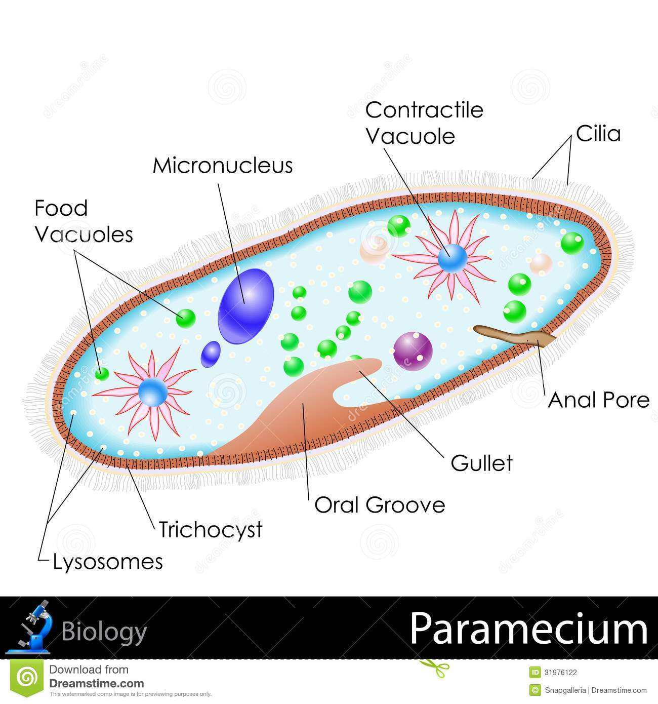Easy Diagram Of Eukaryotic Cell Wiring Diagrams For Dummies Labeled Paramecium Stock Photography Image 31976122 Eukarotic