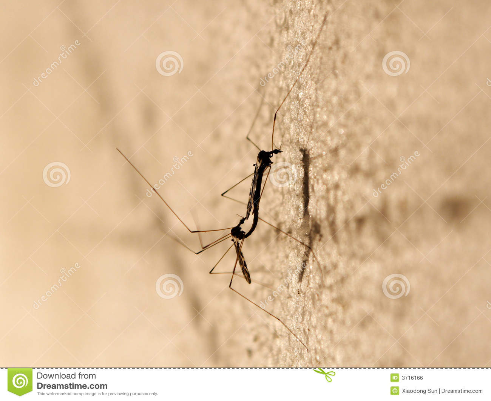 Parande ihop myggor två