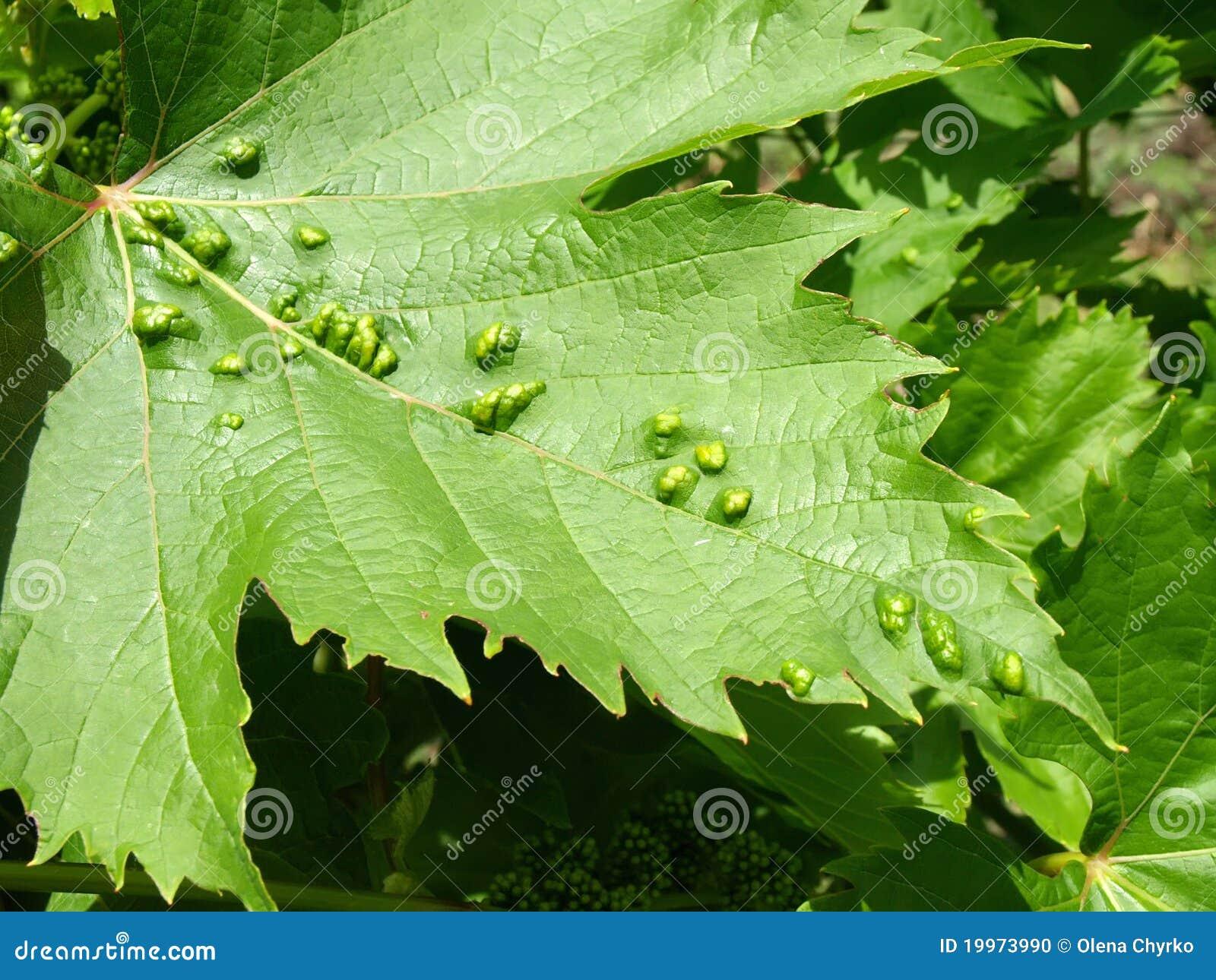 Parasite de coutil de vigne fitoptus photo stock image 19973990 - Parasite de la vigne ...