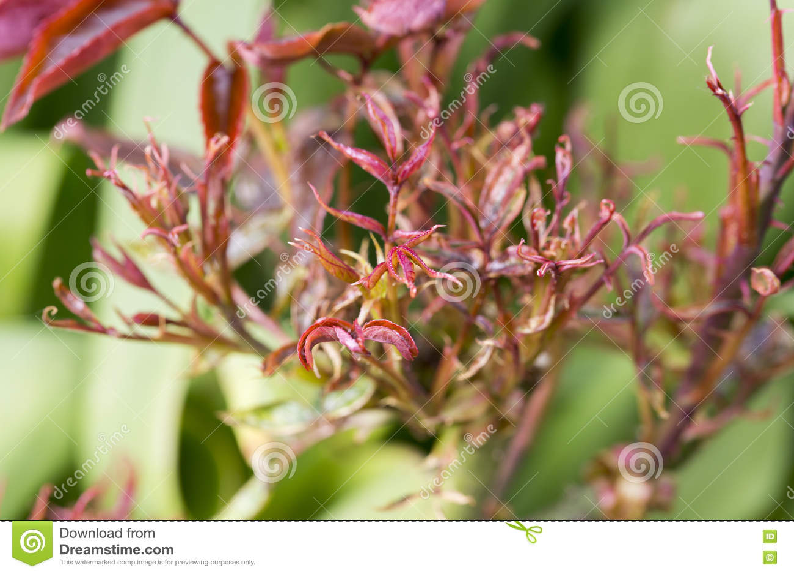 Parasite de la maladie de rosier image stock image 71227073 - Maladie des rosiers photo ...