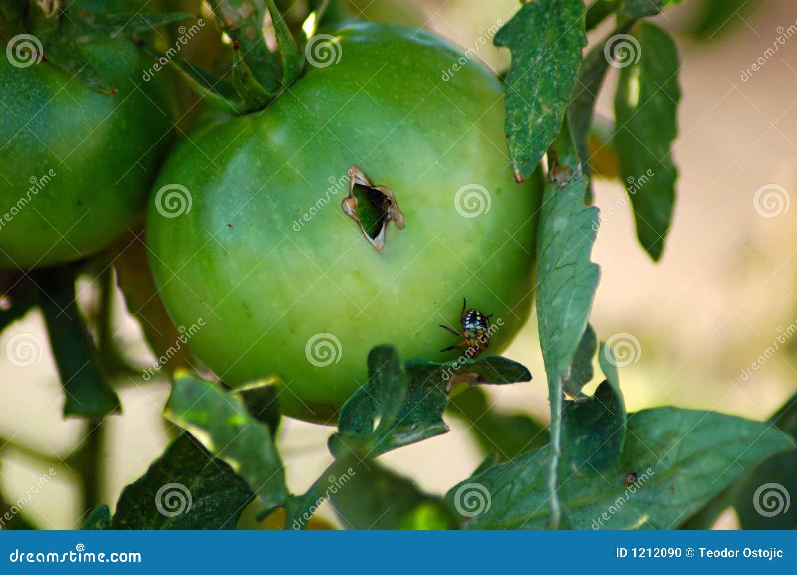 Parasite de tomate photo stock image 1212090 for Malattie pomodoro