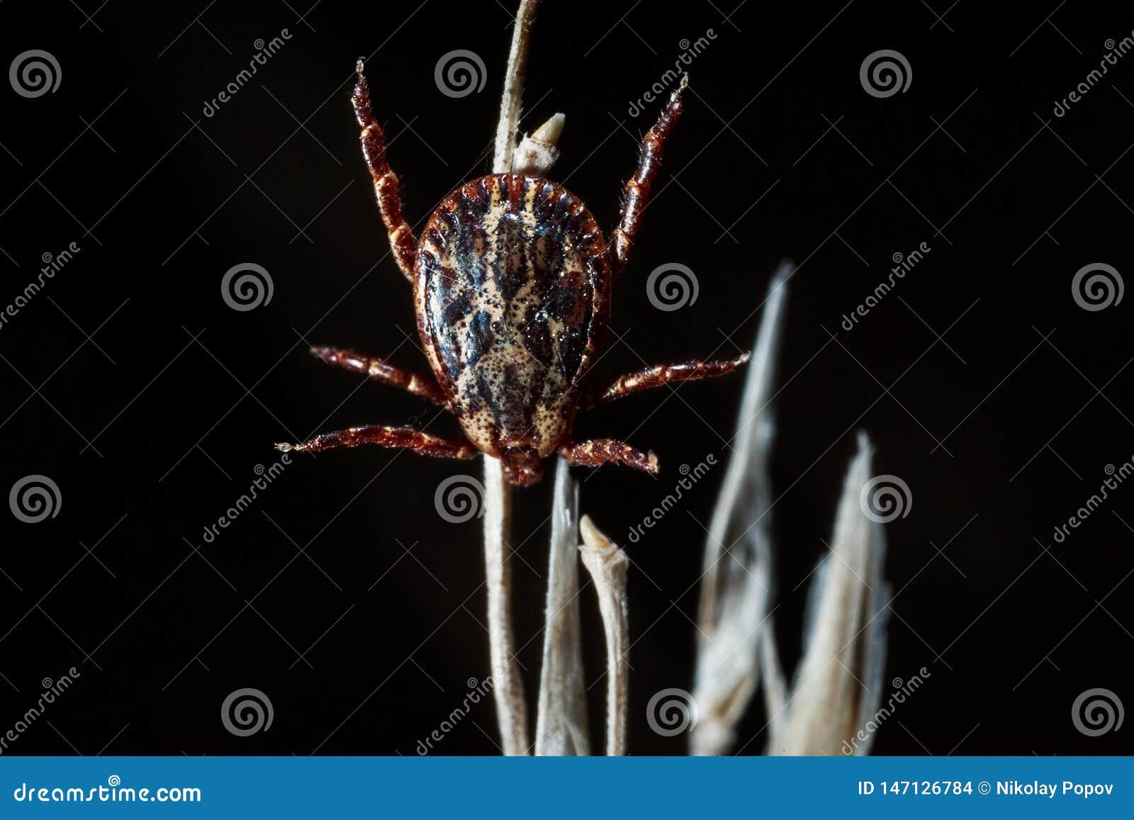 The parasite mite