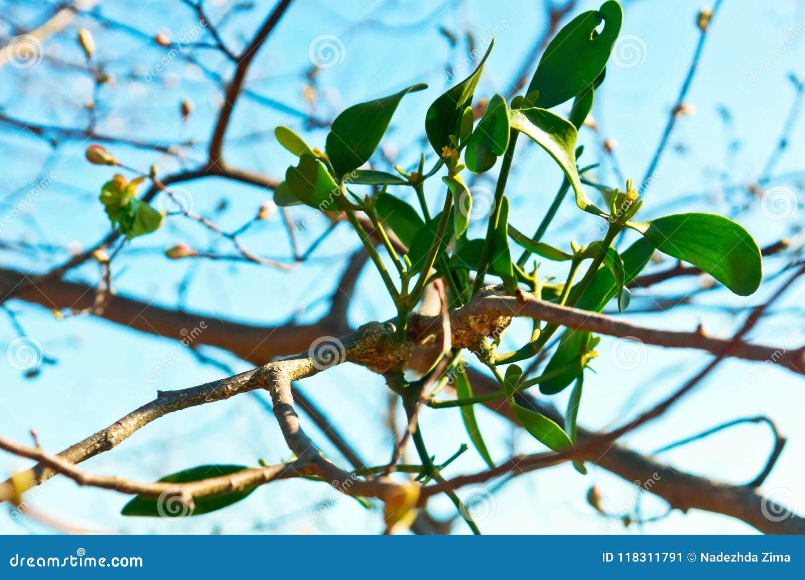 Bush Is Mistletoe A Plant Parasite Mistletoe On A Tree The