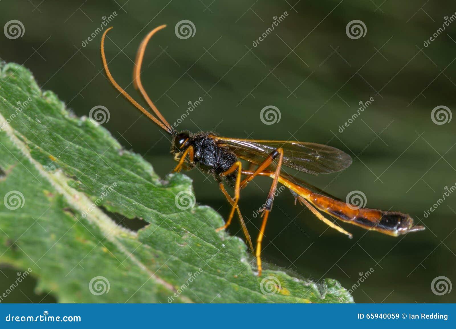 Parasitisk geting för Habrocampulum biguttatum