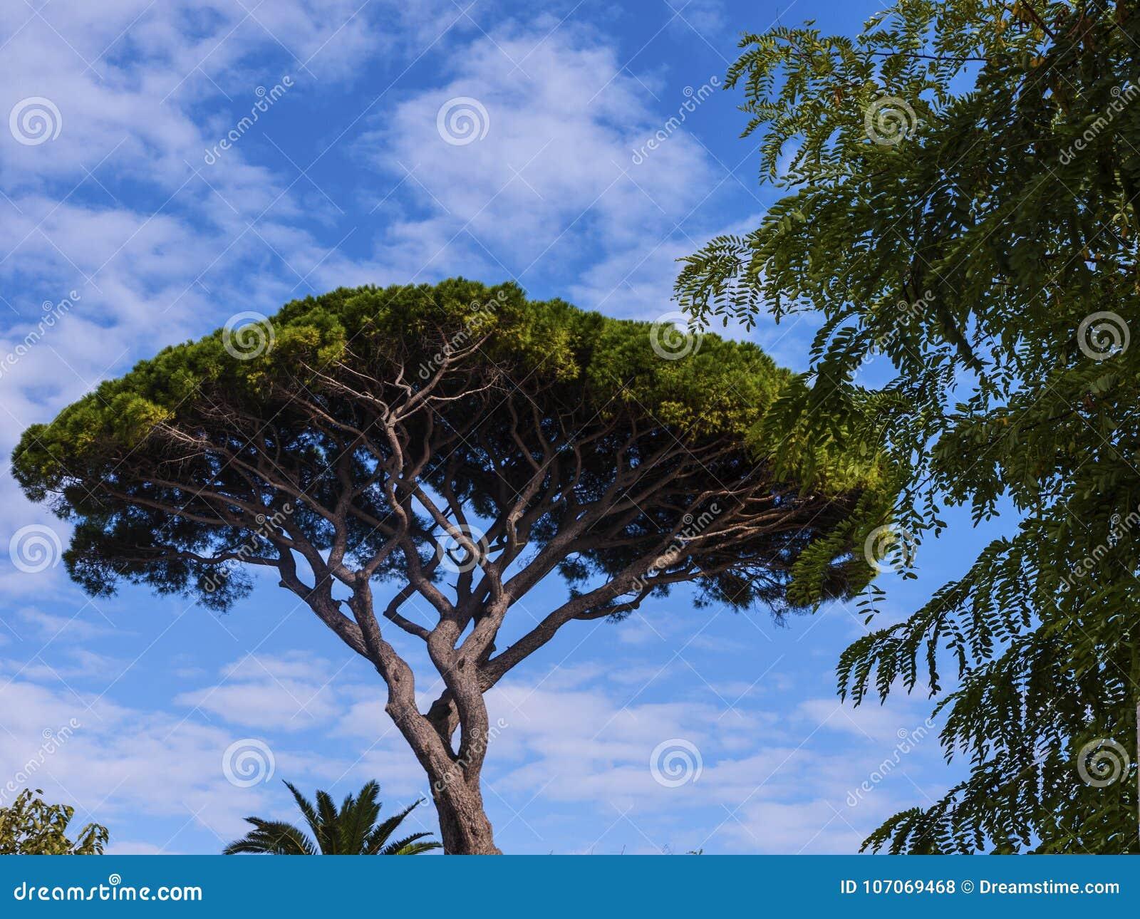 Parasolowa sosna w ogródach los angeles Certosa na wyspie Capri