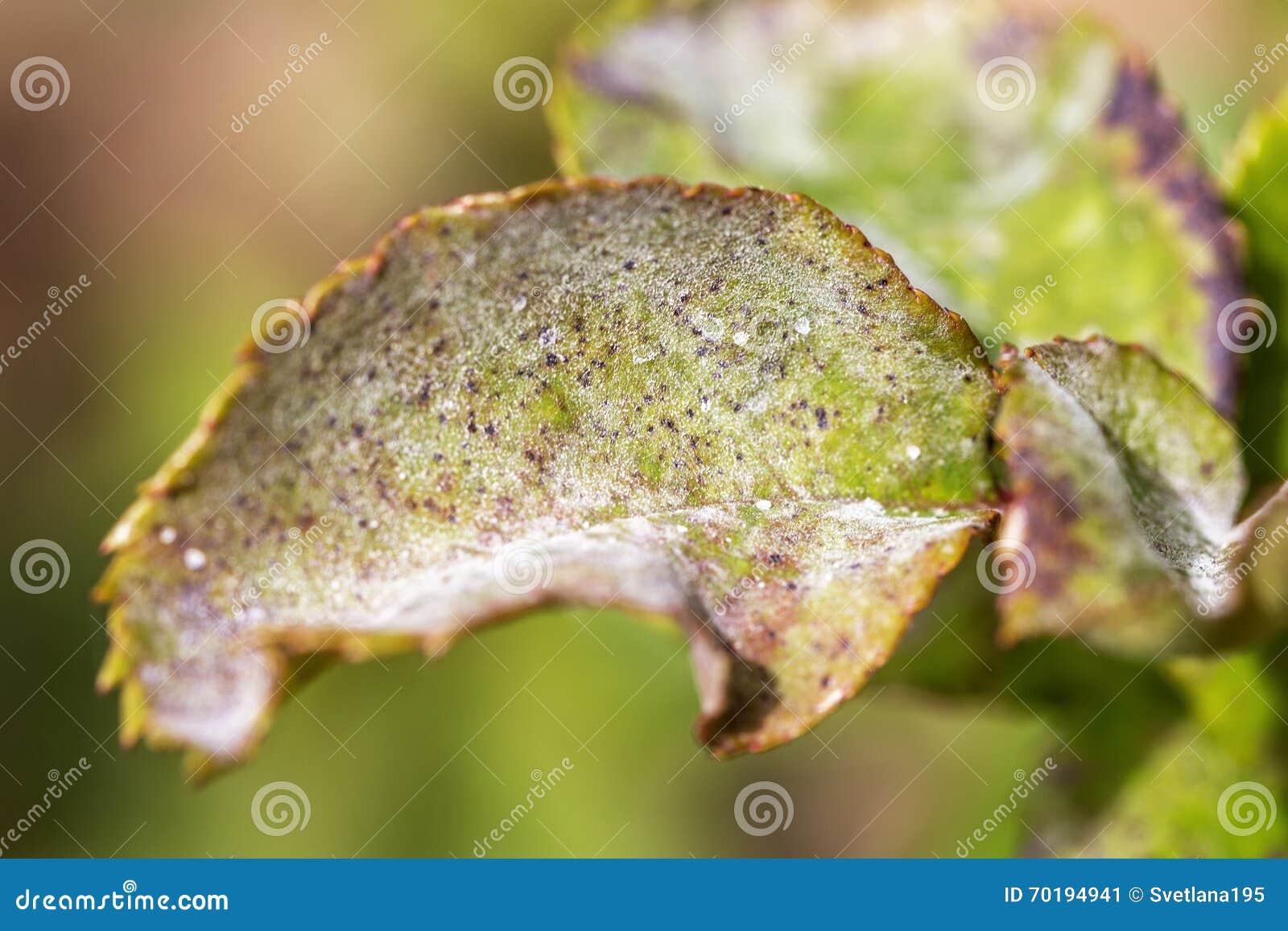 Parassiti malattie delle piante primo piano dell 39 oidio for Parassiti piante