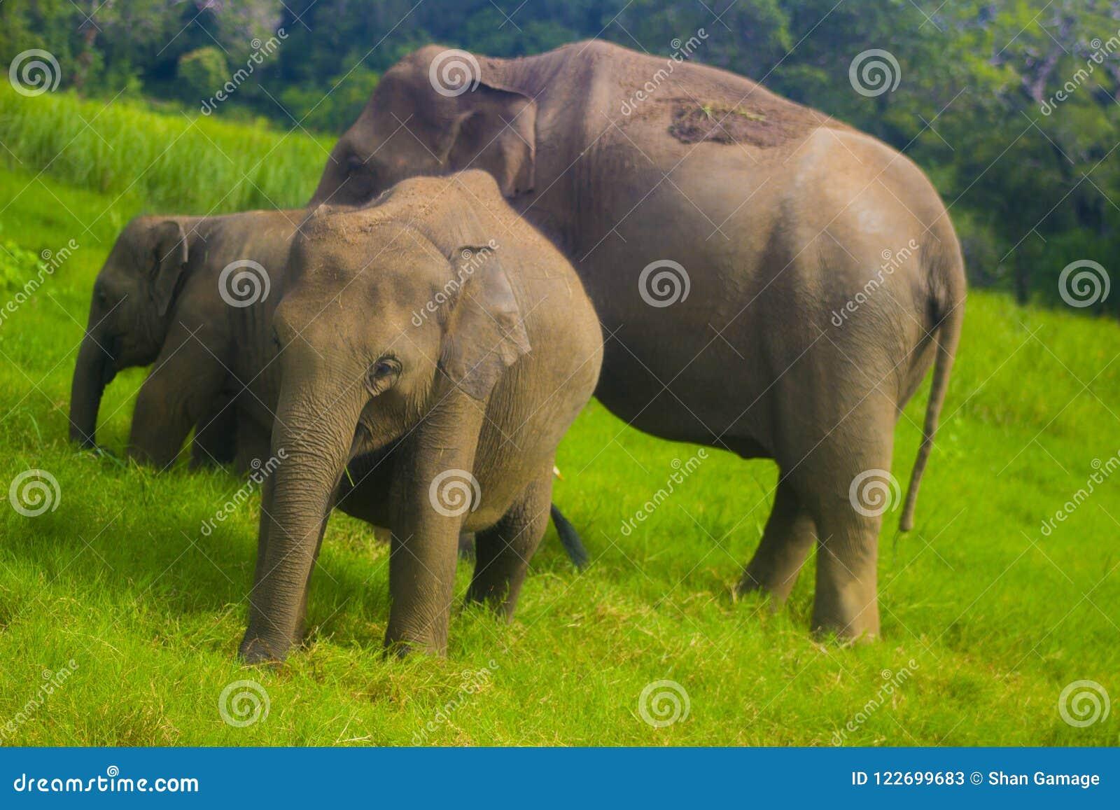 Parc national de minneriya sauvage asiatique d Eliphant - du Sri Lanka