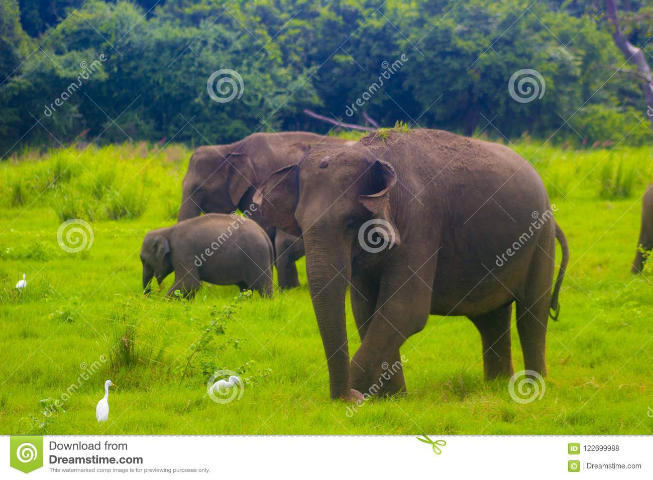 Parc national de minneriya sauvage asiatique d Eliphant - du Sri Lanka
