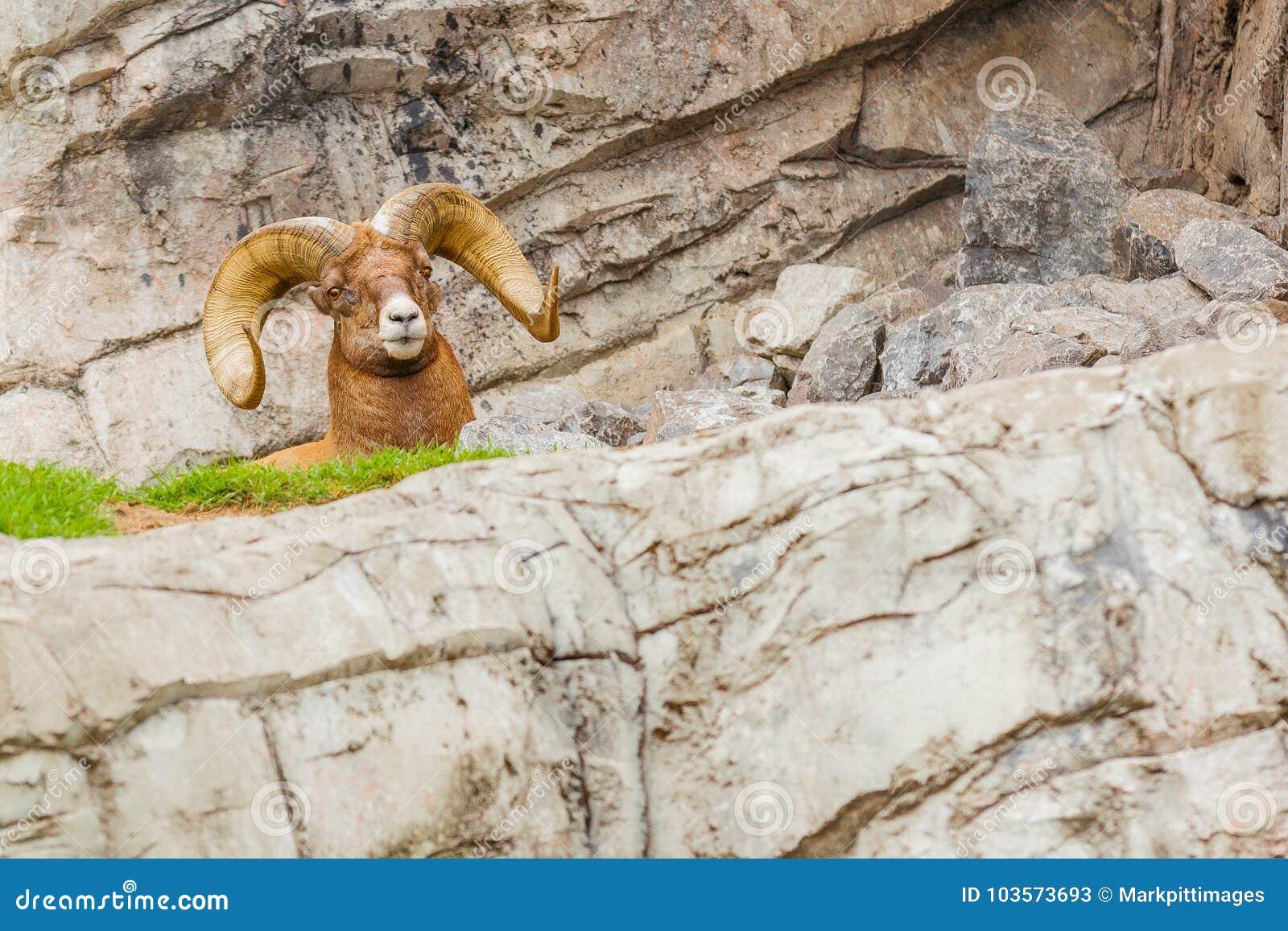 Parc national haut étroit de jaspe de mouflons d Amérique