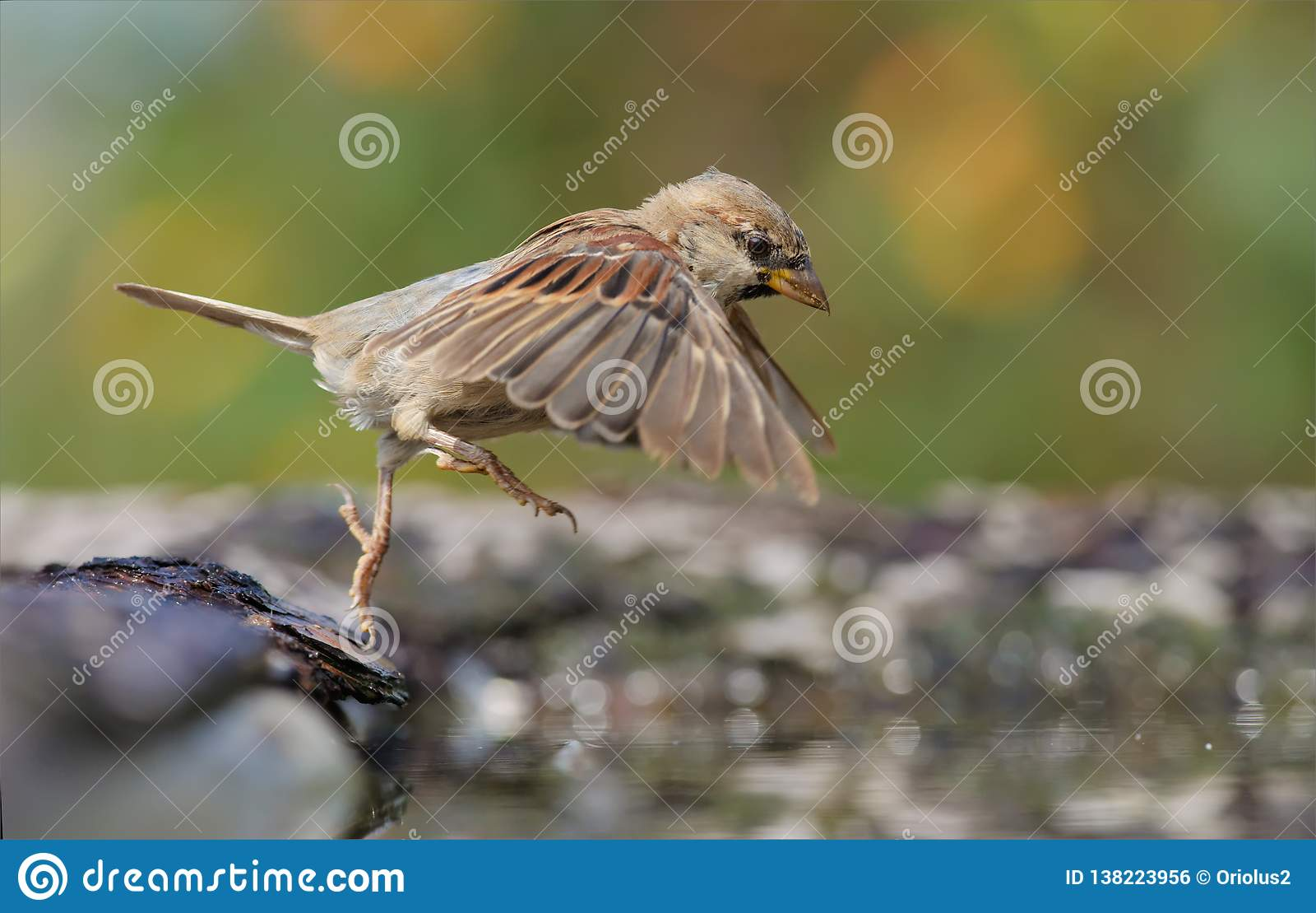 Pardal de casa que salta na lagoa de água com asas e pés esticados