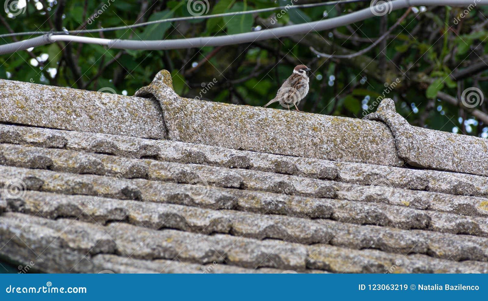 Pardal enrugado no telhado telhado