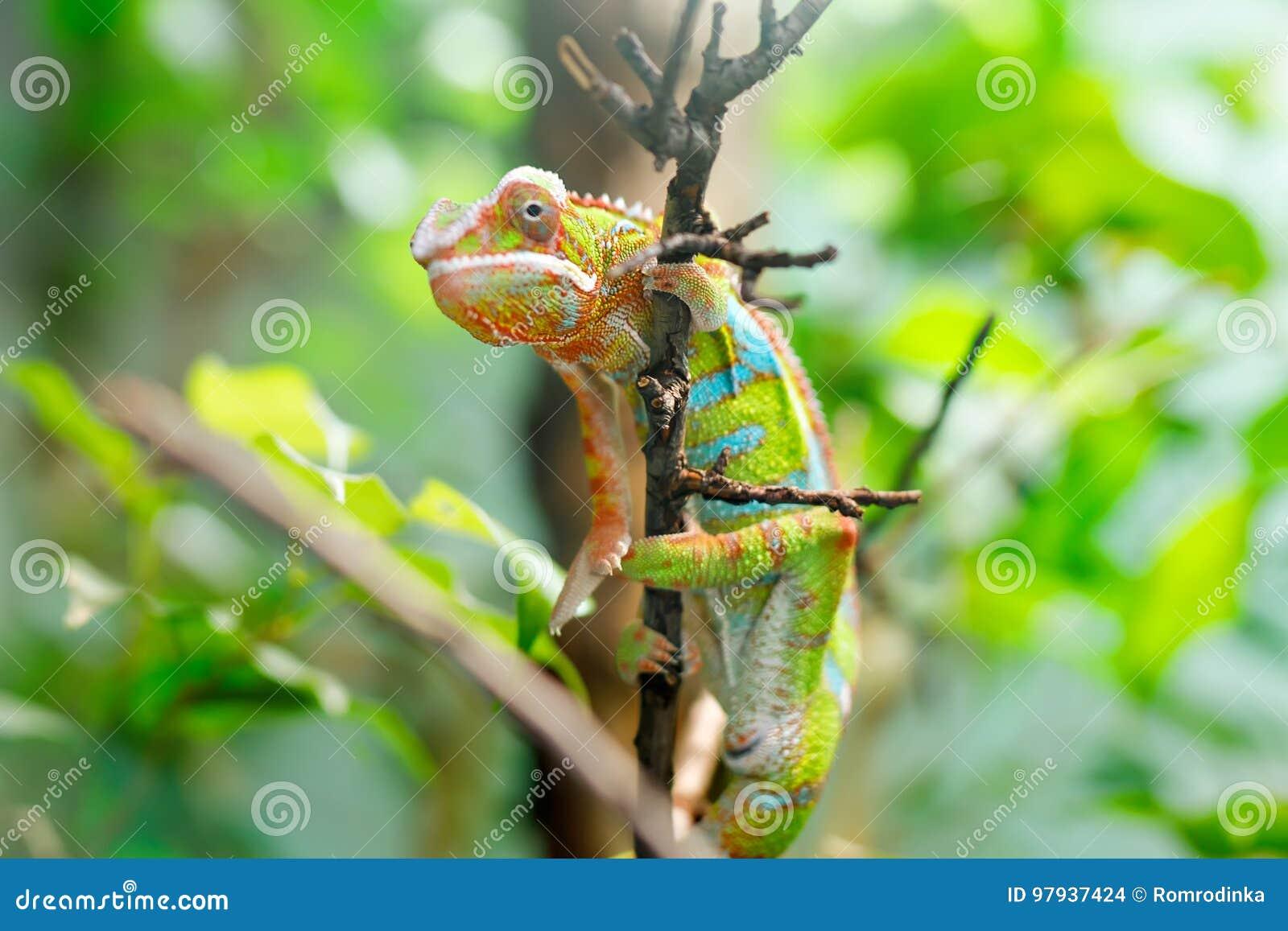 Pardalis Ambilobe, panterkameleon van kameleonfurcifer jon een boom