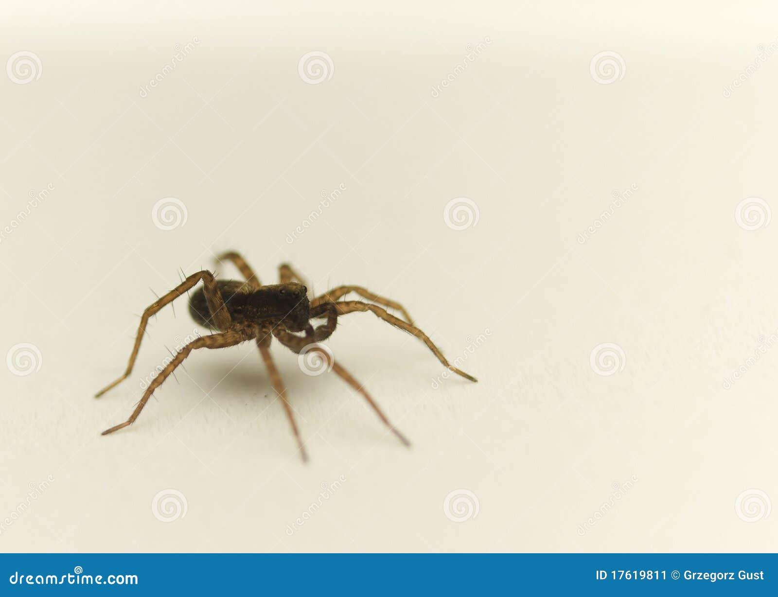 Pardosa amentata