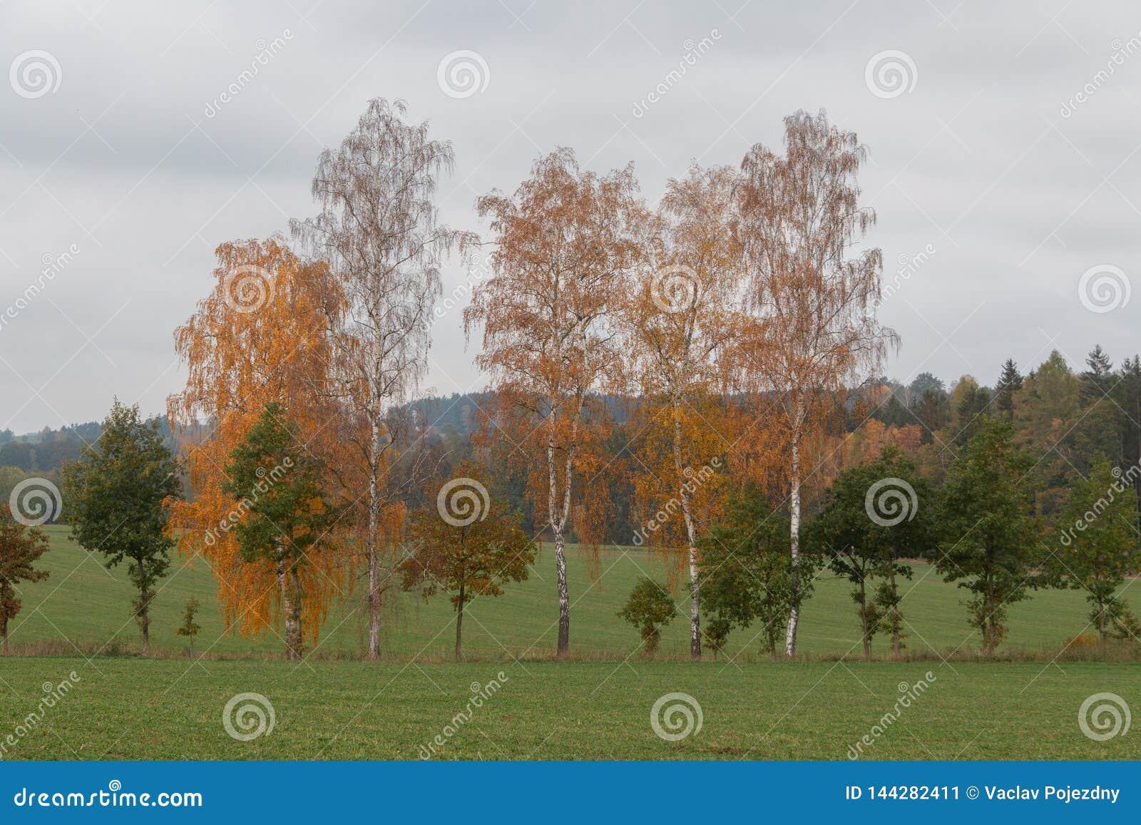 Parecchi alberi di betulla in un campo