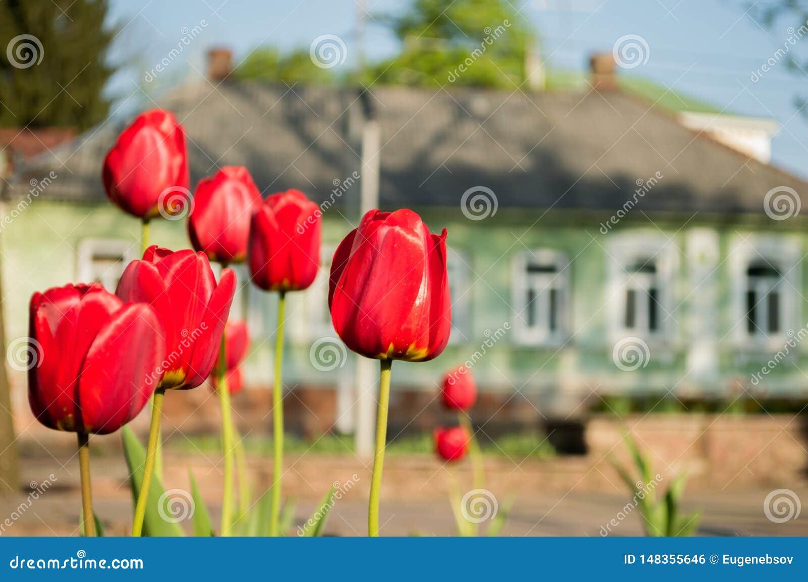 Parecchi tulipani rossi nel parco