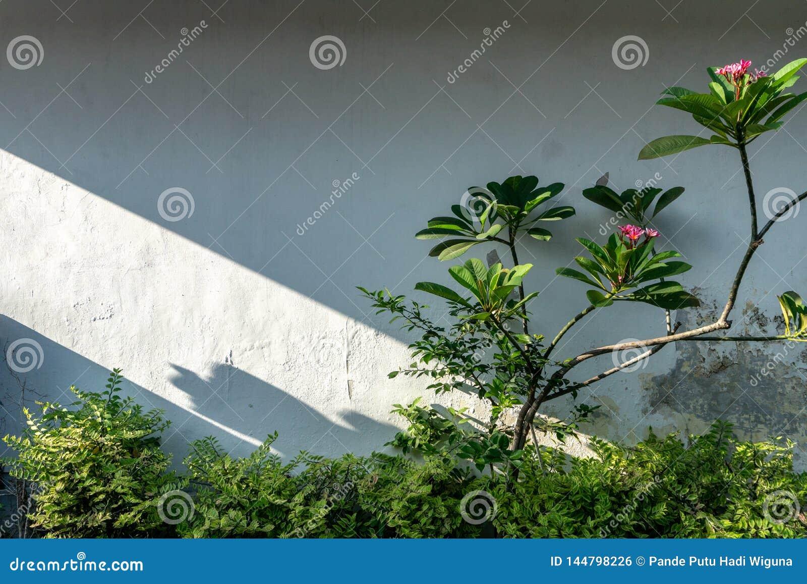 A parede branca do jardim com algumas plantas verdes e árvores do frangipani com sombras da luz da manhã