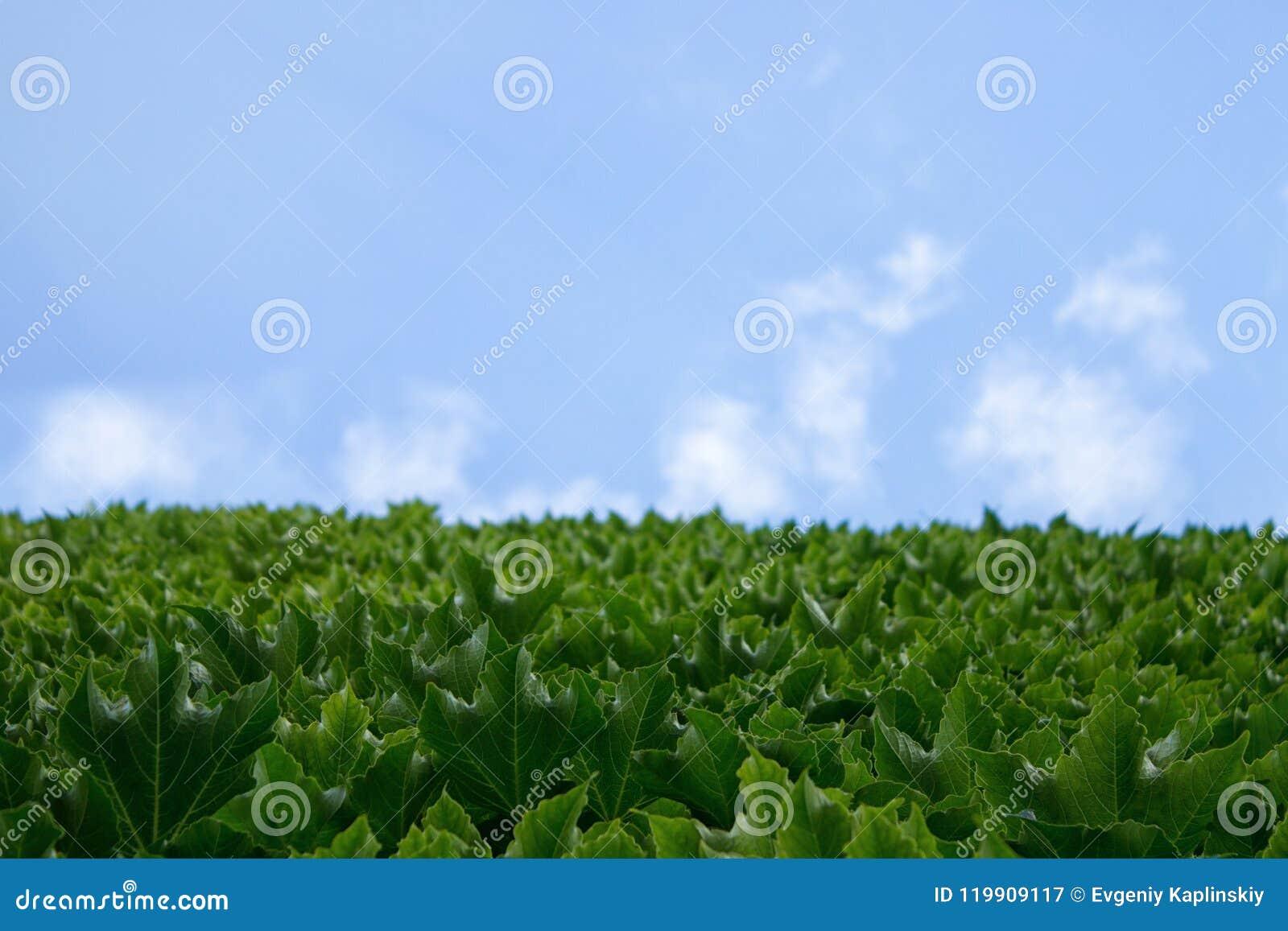 A parede da casa que entra no céu, as folhas do uvas verdes contra o céu azul de uma nuvem com uma cópia vazia do espaço