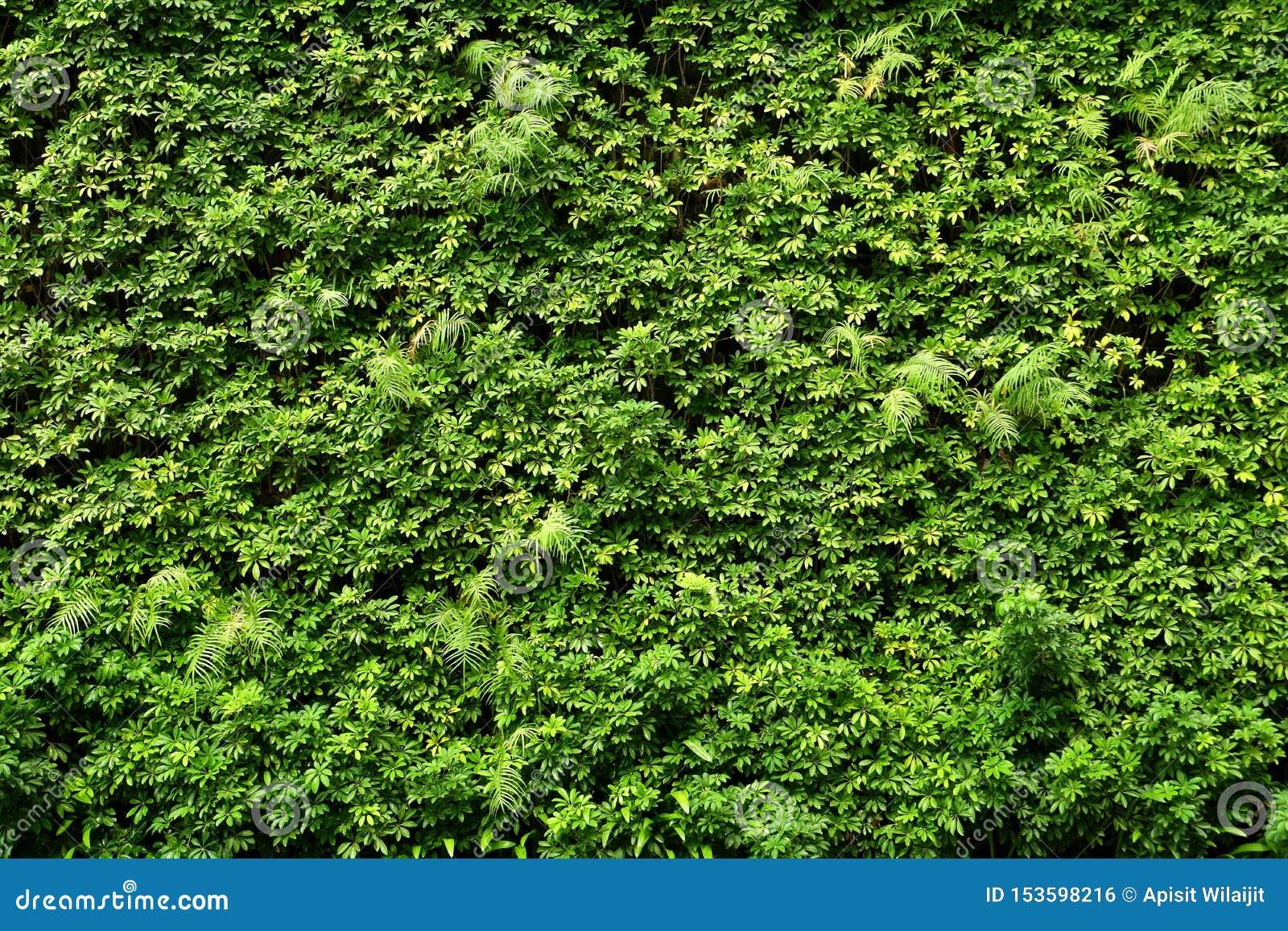 Parede das plantas ou fundo verde da textura da parede das folhas