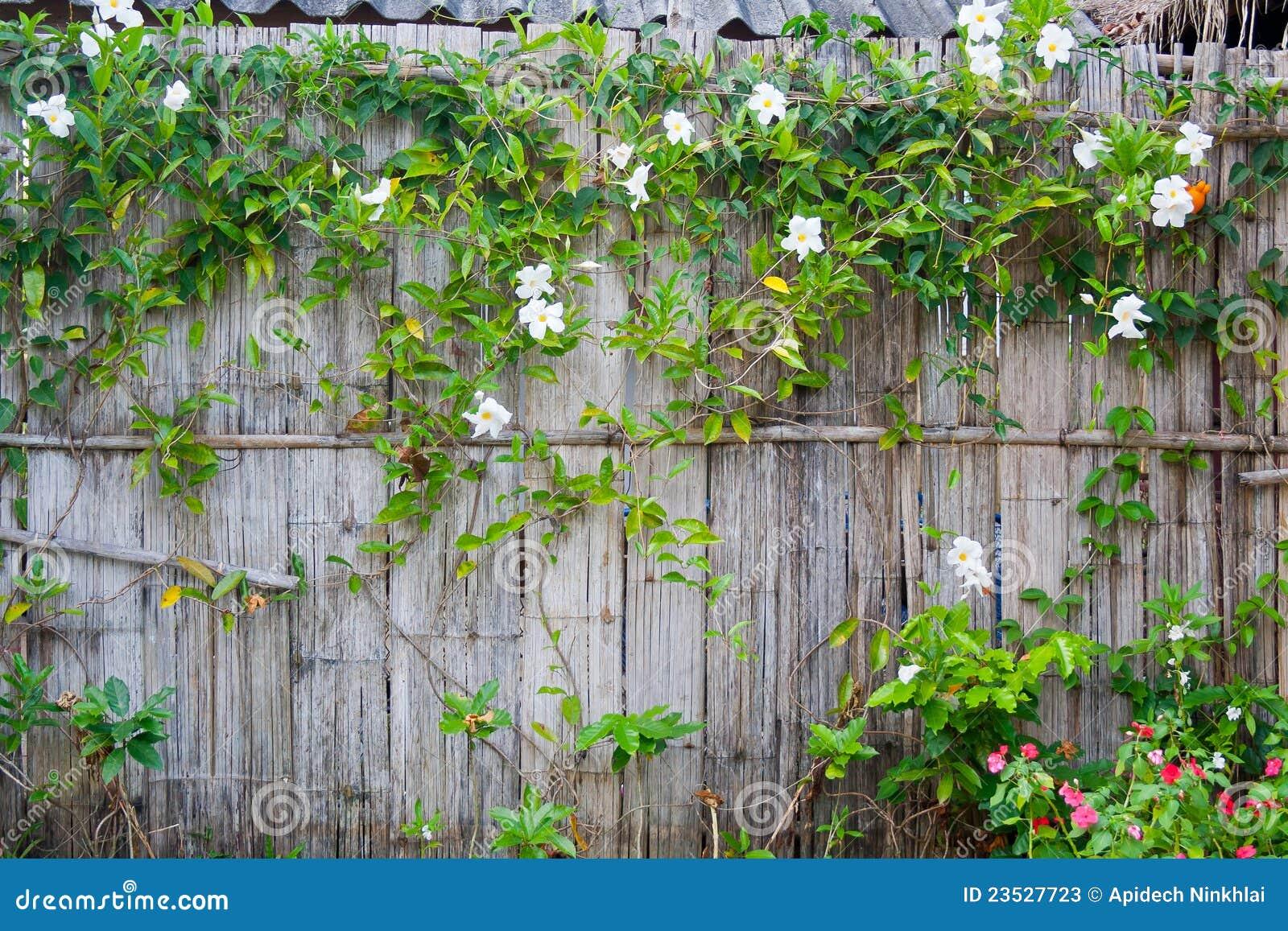 A parede de bambu com a planta de floresc ncia do - Bambu planta exterior ...