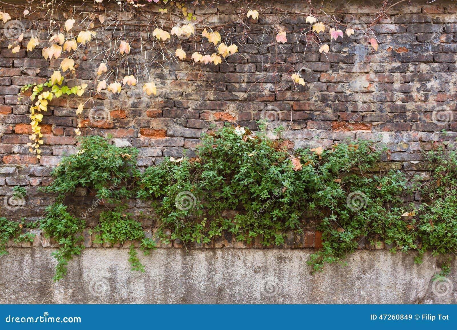 Parede de tijolo velha coberta com a hera amarela e as plantas verdes