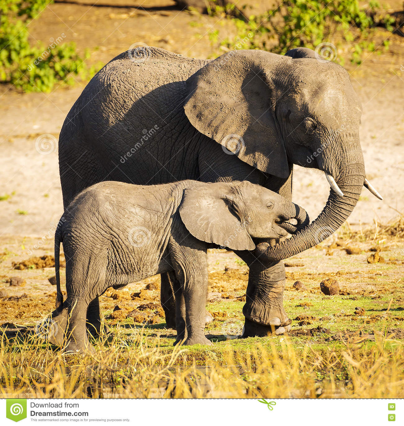 Parent d éléphant avec le veau