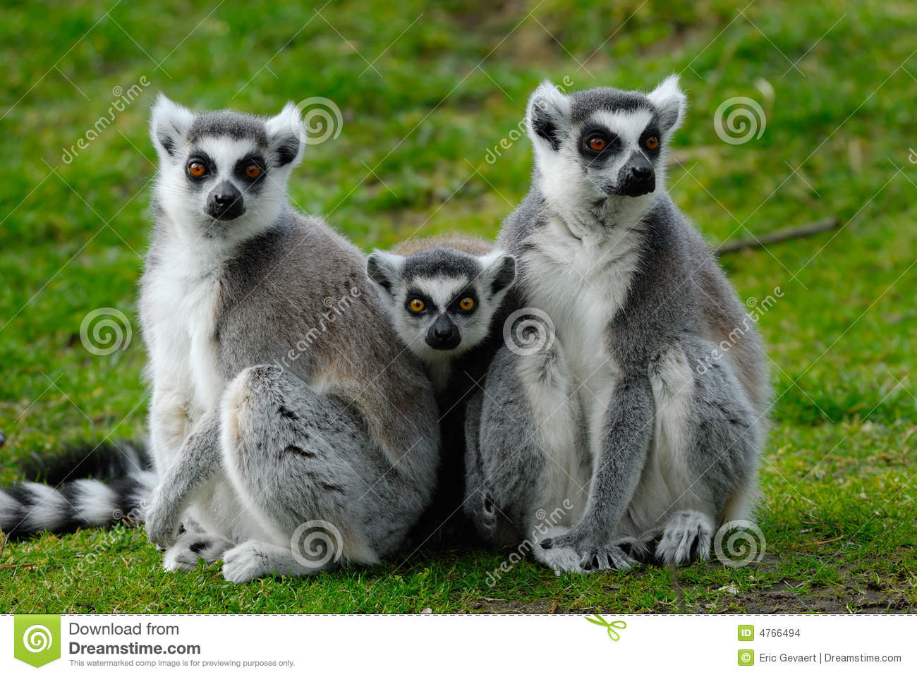 Parents and baby ring-tailed lemur