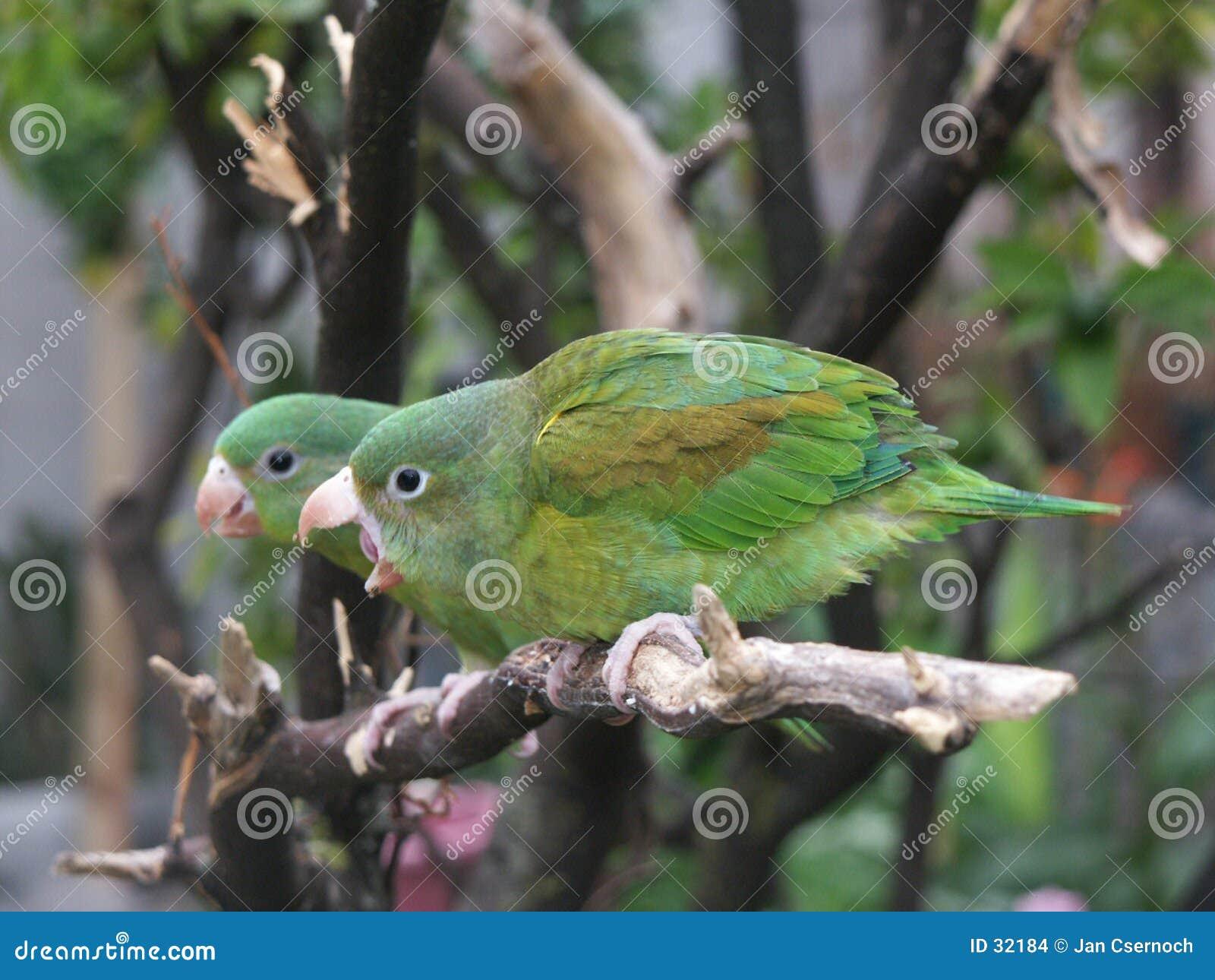 Pares Alaranjados-chinned do Parakeet
