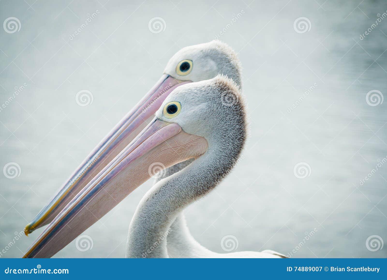 Pares australianos do pelicano junto