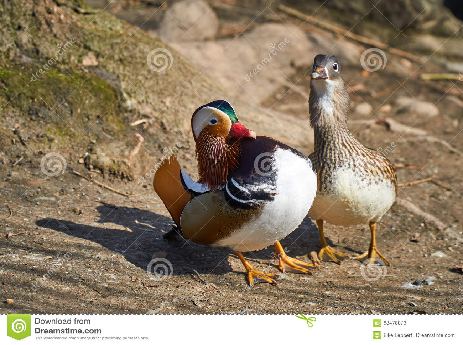 Pares cariñosos del pato de mandarín