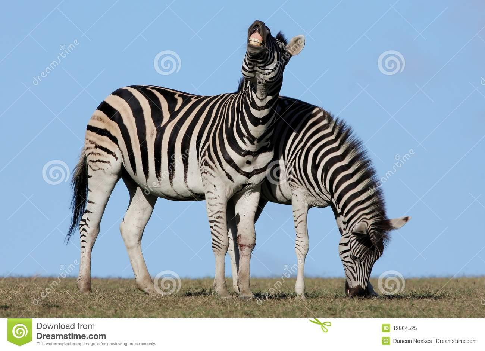 Pares da zebra