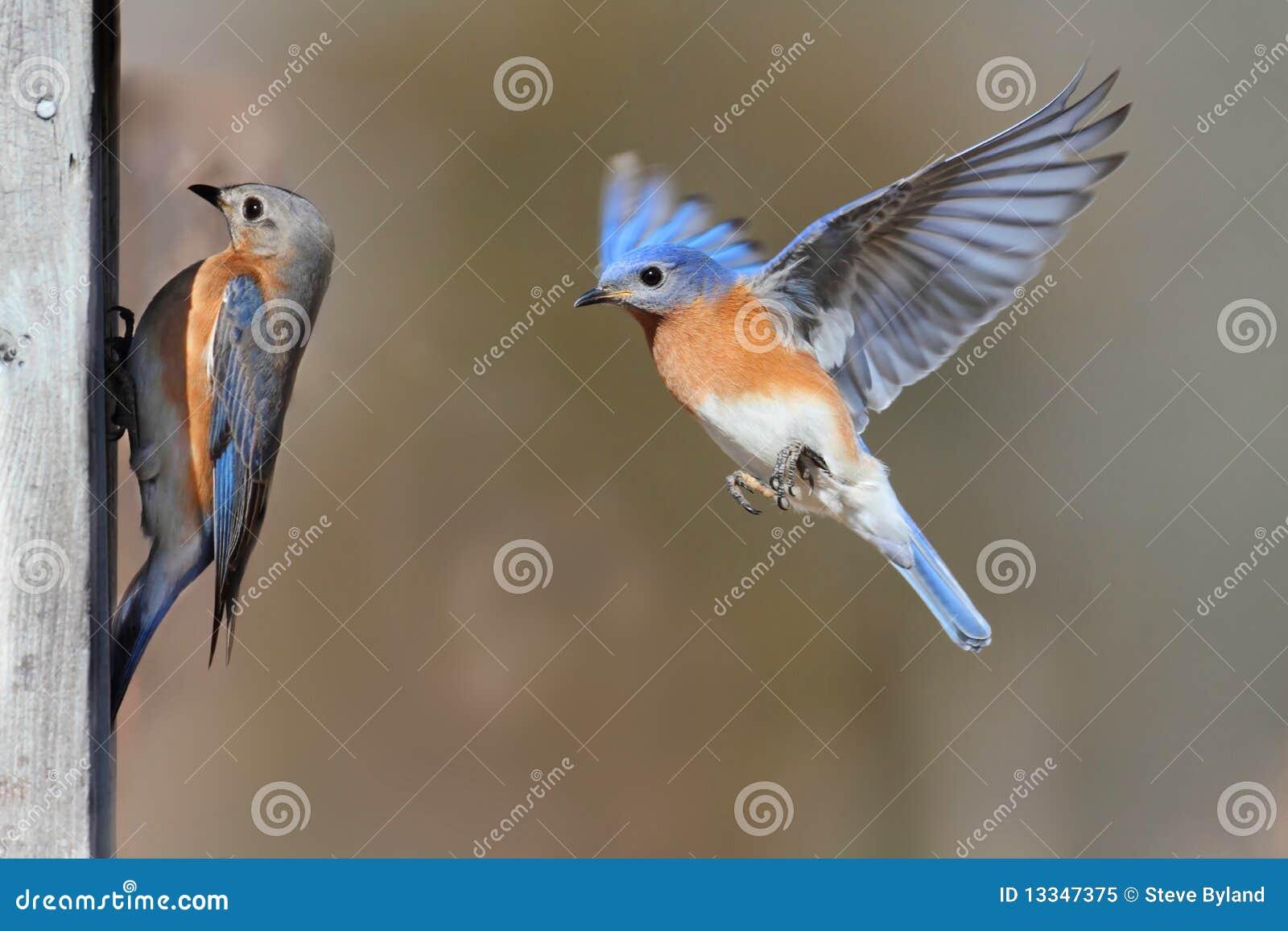 Pares de Bluebirds
