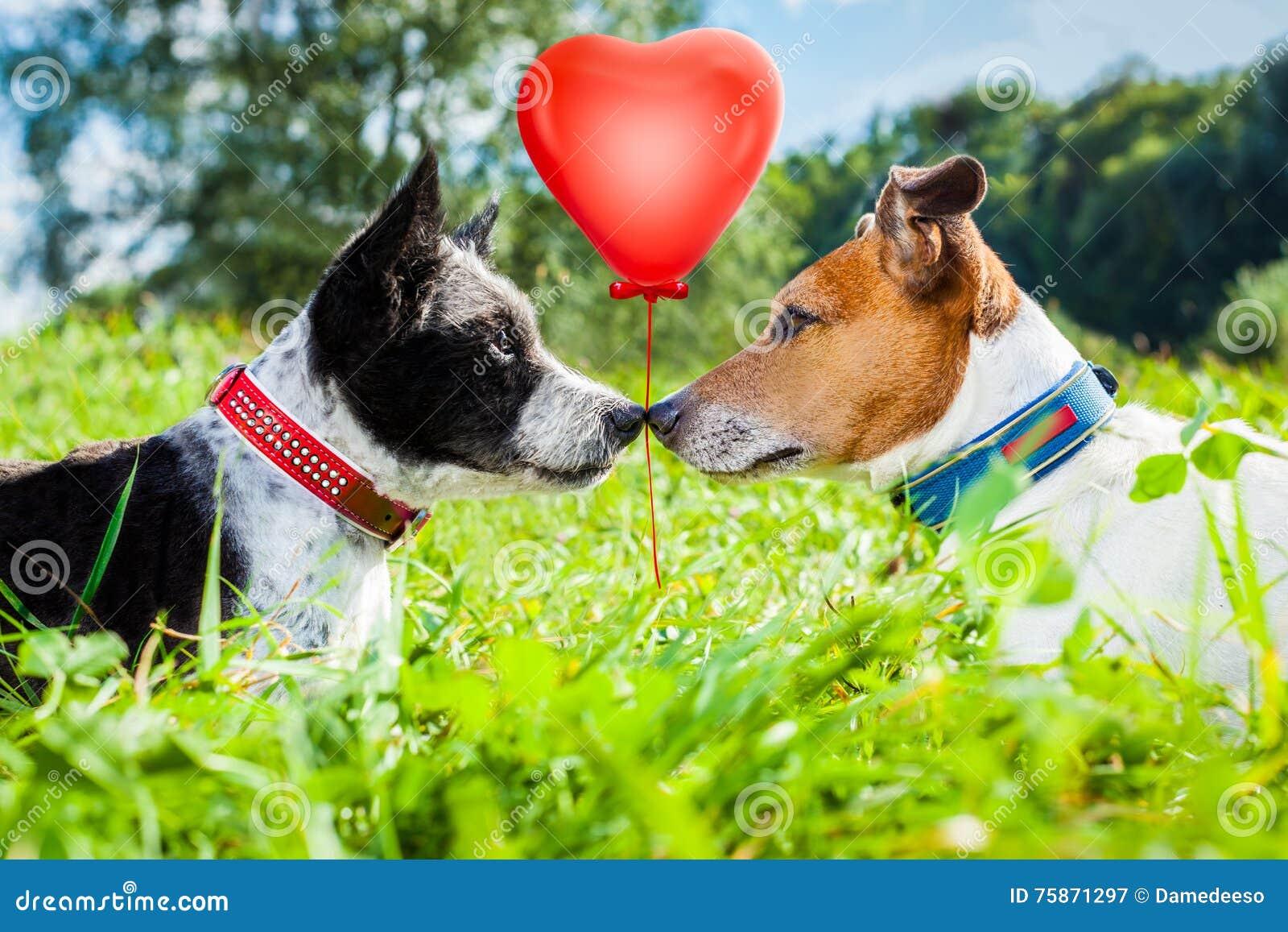 Pares de cães no amor