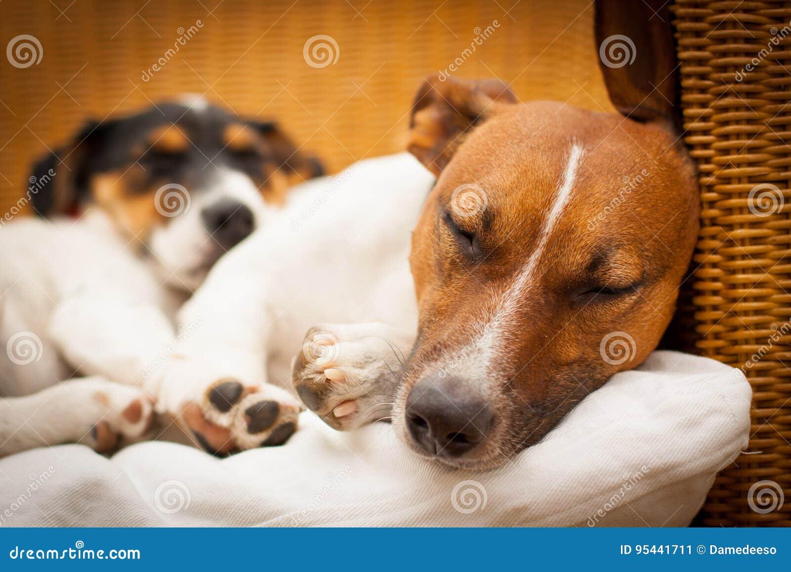 Pares de dos perros en amor