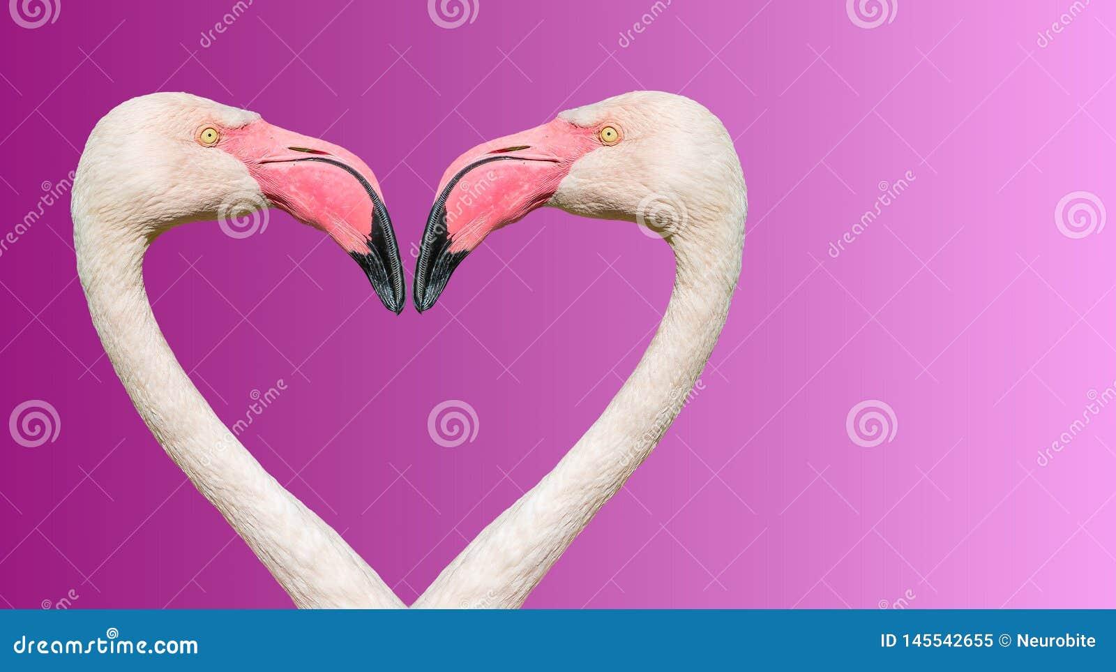Pares de flamingos de Rosy Chilean que fazem o cora??o de amor no fundo liso do inclina??o