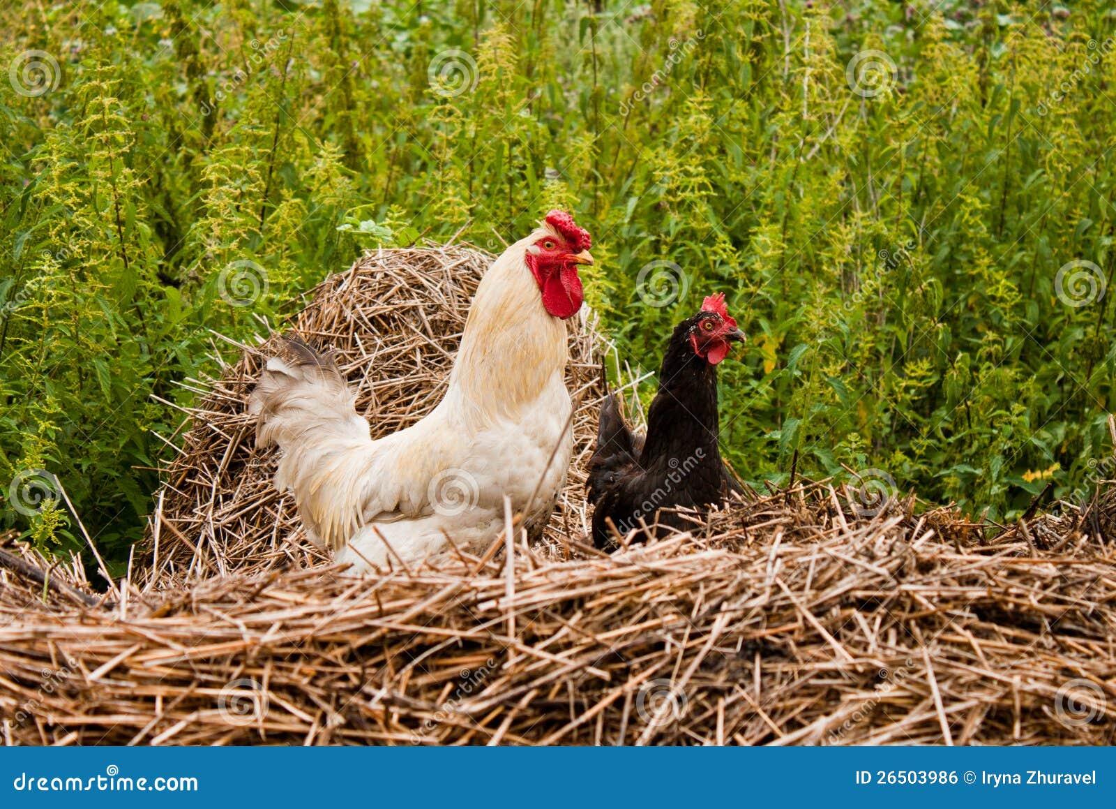 Pares de galinha anã