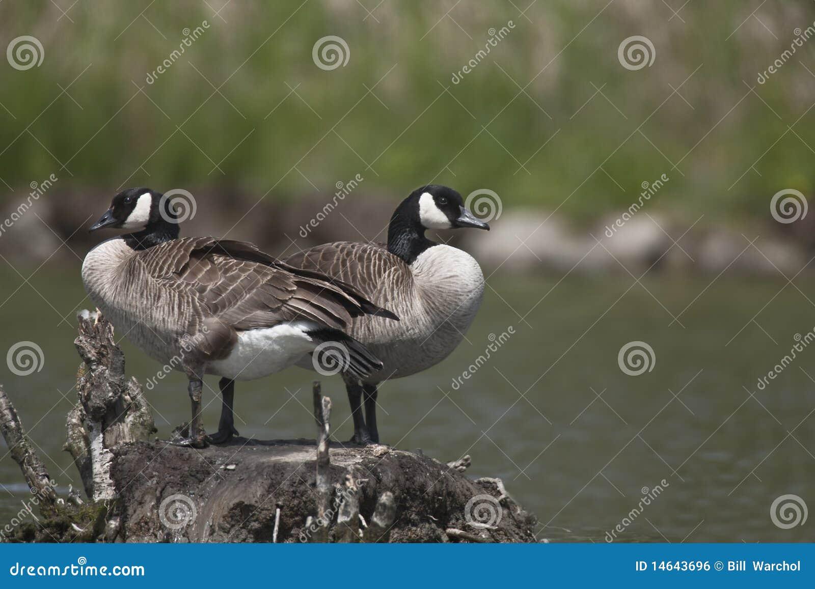 Pares de gansos de Canadá