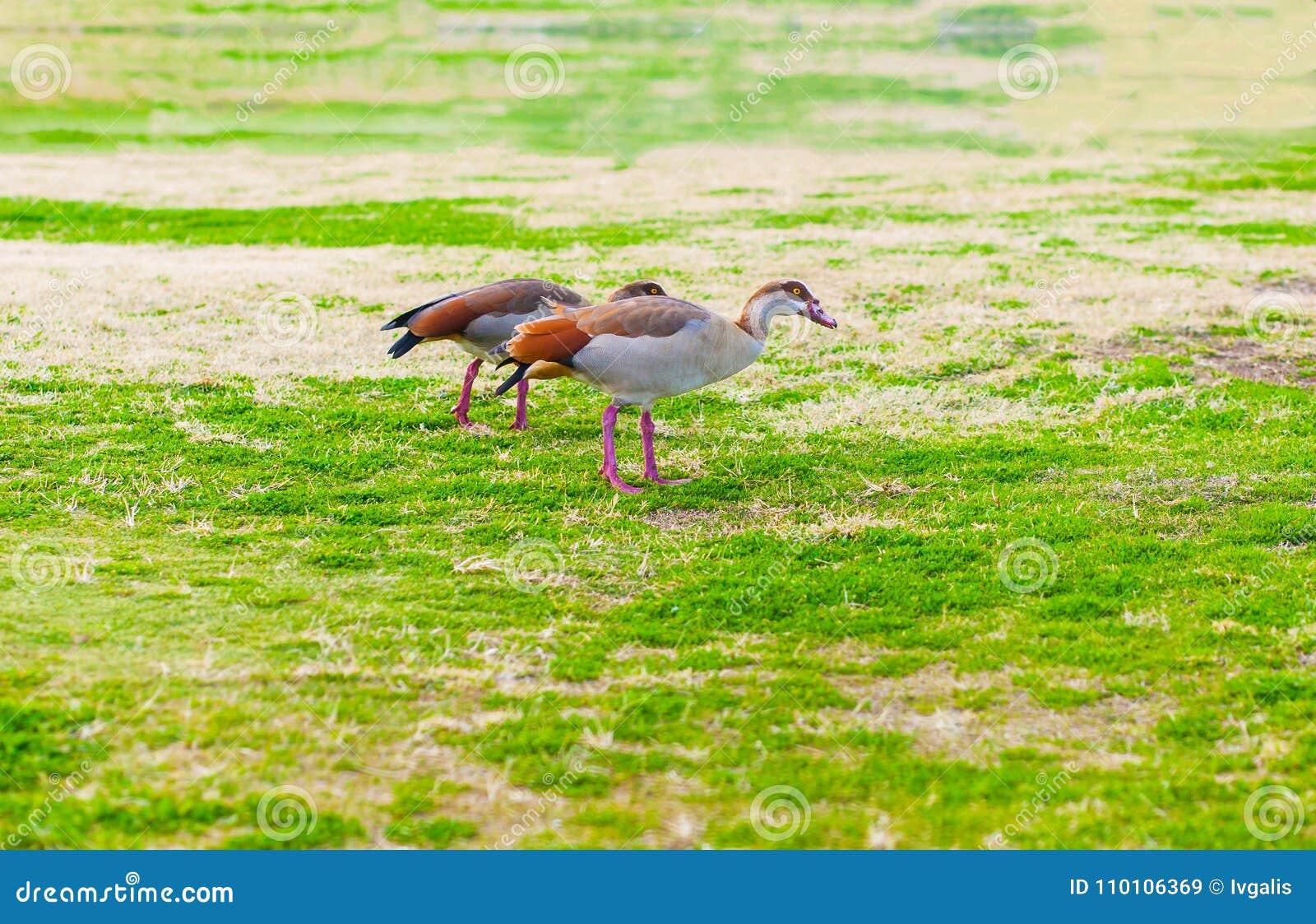 Pares de gansos egípcios
