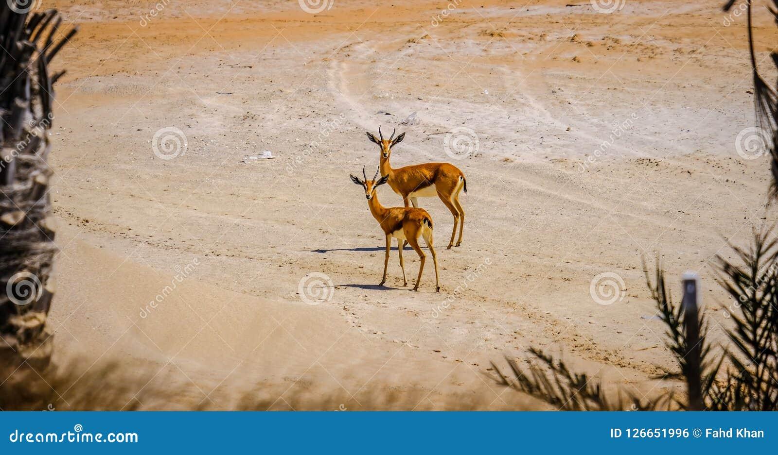 Pares de gazela árabe nova da areia que olha fixamente na câmera, Saadiyat
