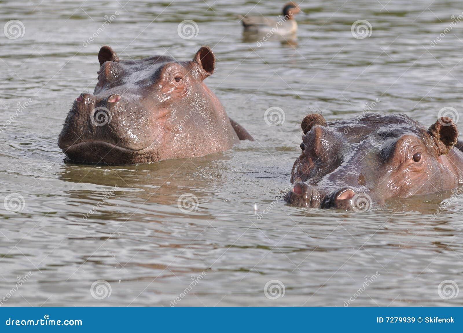 Pares de hippopotams de la natación