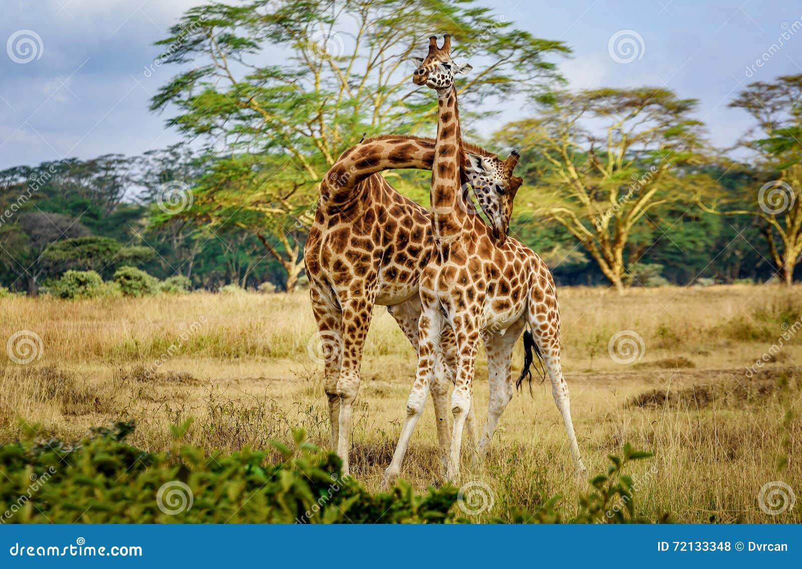 Pares de la jirafa que abrazan con uno a en Kenia, África