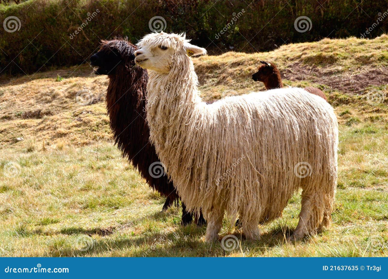 Pares de lamas blancos y negros con un bebé