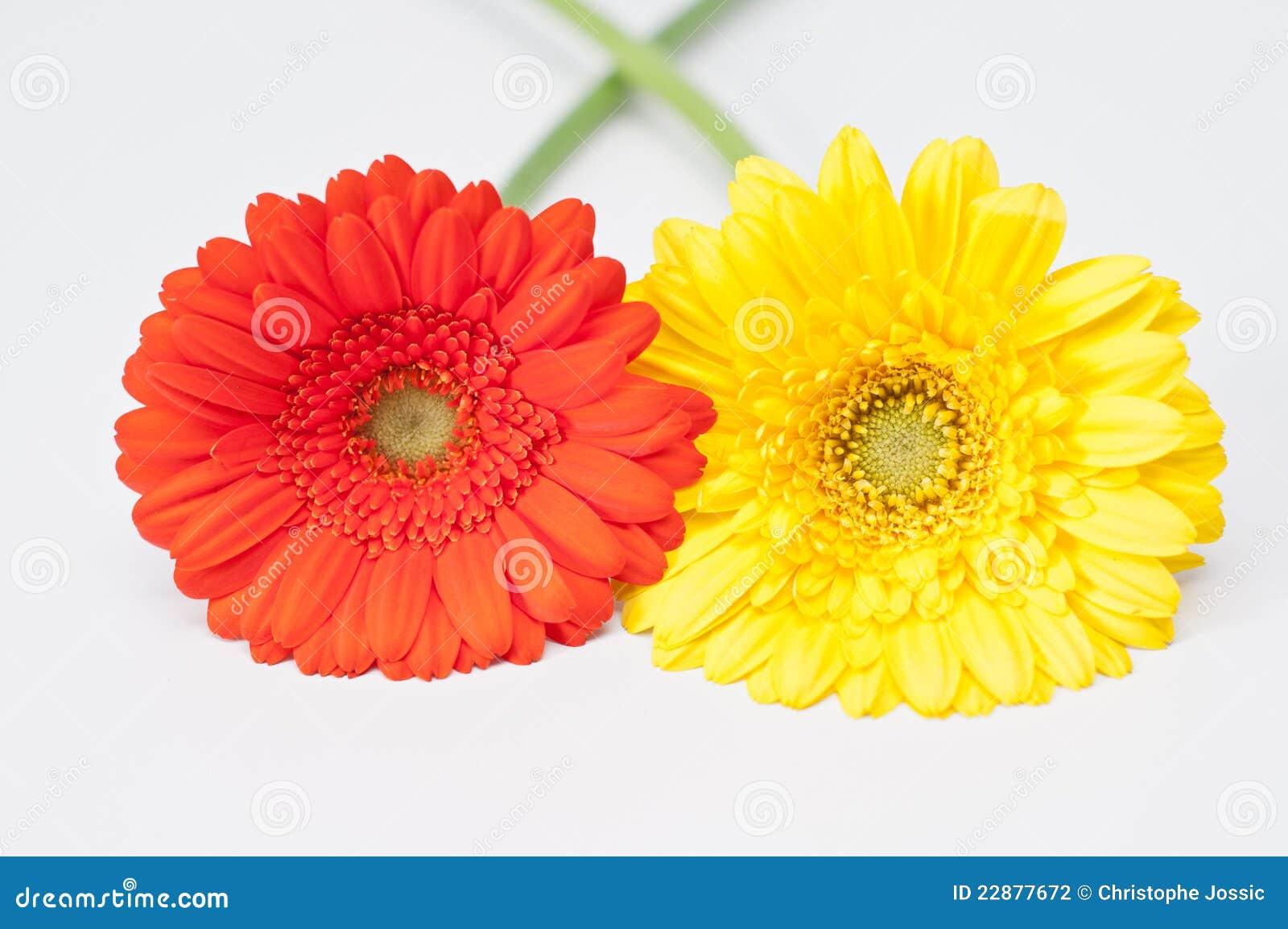 Pares De Las Flores Rojas Y Amarillas Del Gerbera Foto De