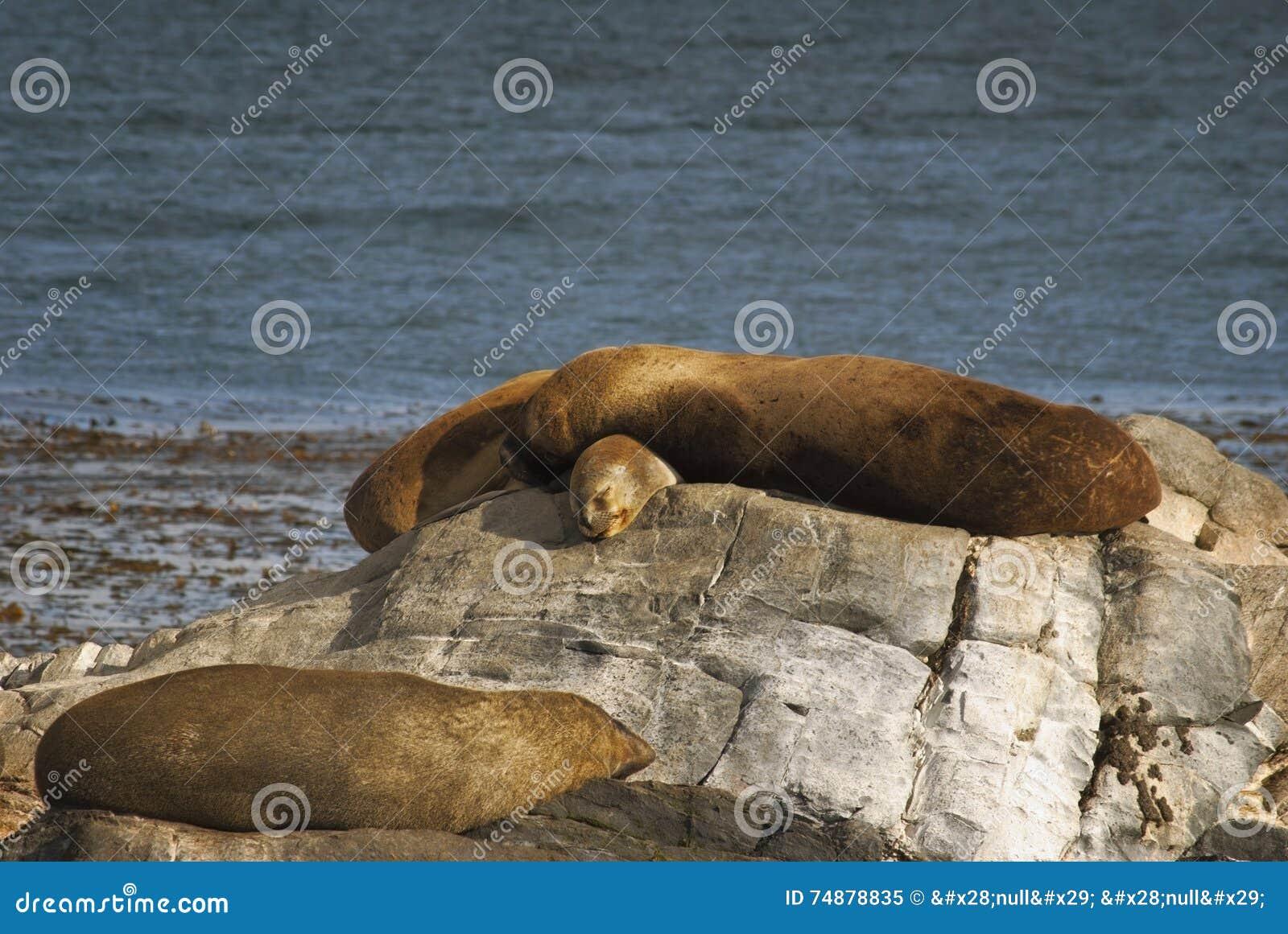 Pares de leões de mar que tomam sol no canal do lebreiro